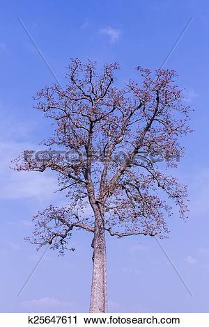 Stock Photography of Bombax Ceiba flower with beauty sky k25647611.