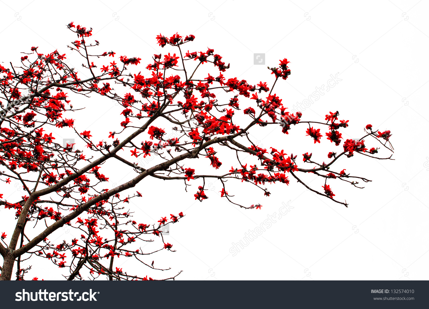 Blossom Red Silk Cotton Tree Latin Stock Photo 132574010.