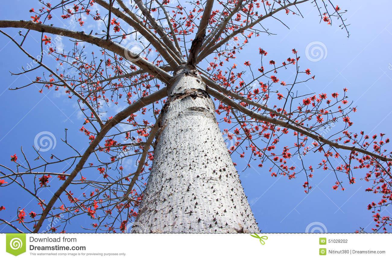 Bombax Ceiba Tree Stock Photo.