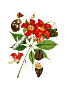 Bombax ceiba Red Silk Cotton Tree, Kapok Tree PFAF Plant Database.
