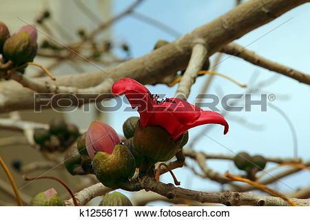 Stock Photography of Bombax(Ceiba) k12556171.