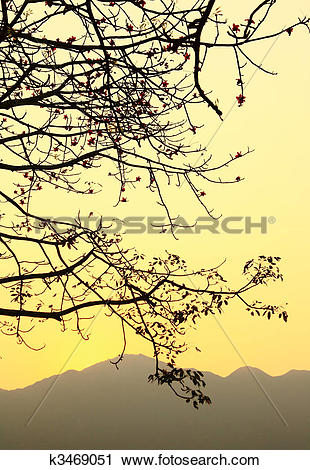 Stock Photography of sunset and a tree, bombax ceiba, silhouette.