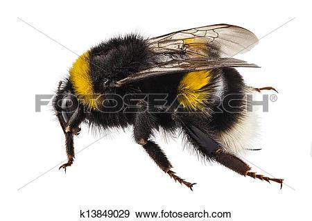 Stock Photograph of Bumblebee species Bombus terrestris k13849029.