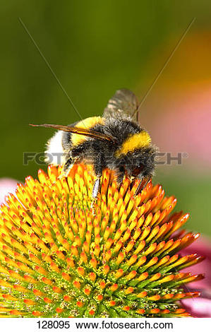 Stock Image of small garden bumble bee / Bombus hortorum 128095.