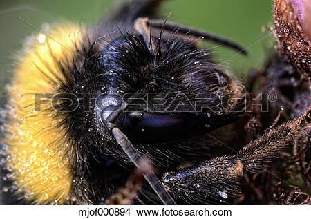 Stock Photo of Portrait of bumblebee, Bombus, close.