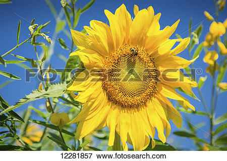 Picture of Bright yellow sunflower (Helianthus) with bumblebee.