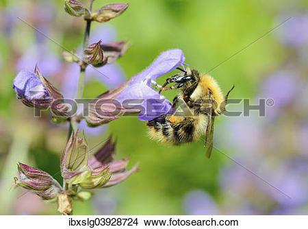 "Stock Photo of ""Brown Bumblebee (Bombus pascuorum) worker bee."