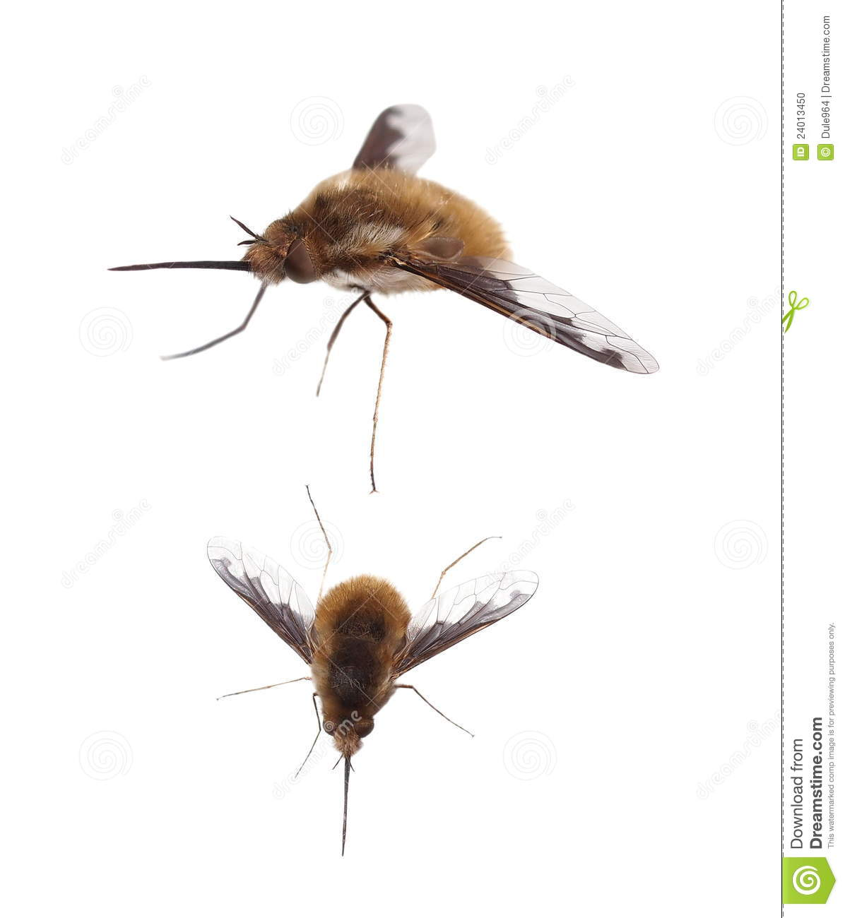 Bee Fly, Bombylius Major, Isolated On White Stock Photo.