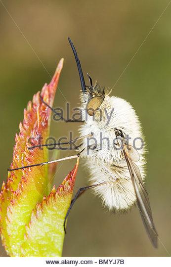 Bee Flies Stock Photos & Bee Flies Stock Images.