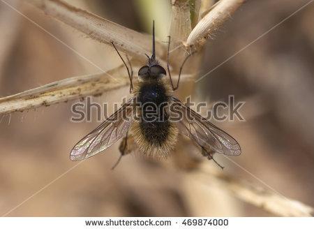 Bombyliidae Stock Photos, Royalty.