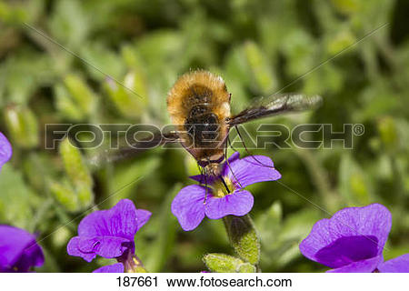 Stock Photography of Large Bee Fly (Bombylius major) drinking.