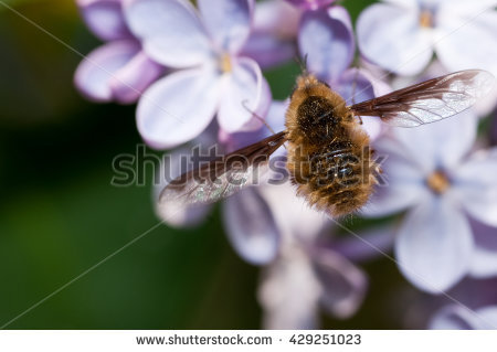 Bombyliidae Stock Photos, Royalty.