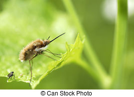 Stock Photos of Bombylius major Super macro csp2805753.