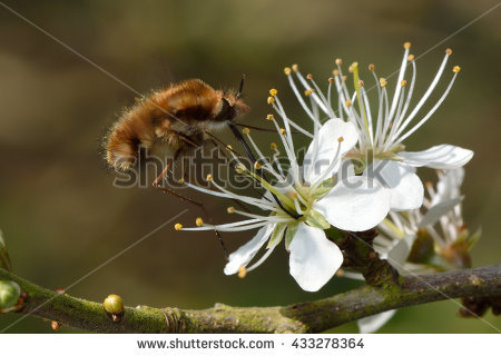Bee Mimic Stock Photos, Royalty.