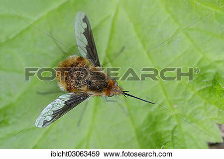 "Stock Photograph of ""Large Bee Fly (Bombylius major), North Rhine."