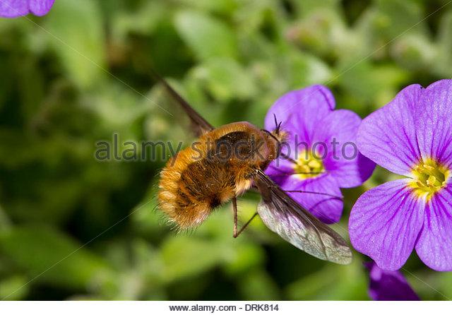 Bumblebee Fly Stock Photos & Bumblebee Fly Stock Images.