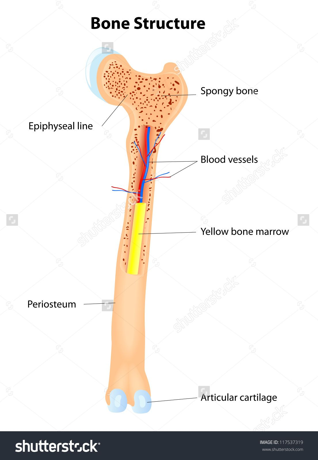 femur leg with bone marrow.