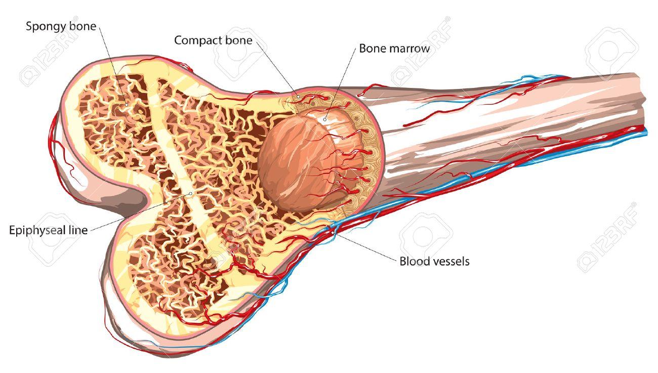 Long bone structure.