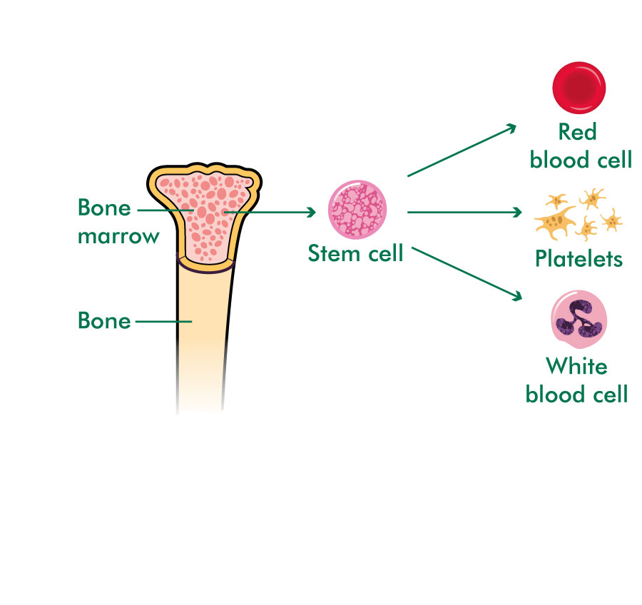 What are stem cells and bone marrow?.