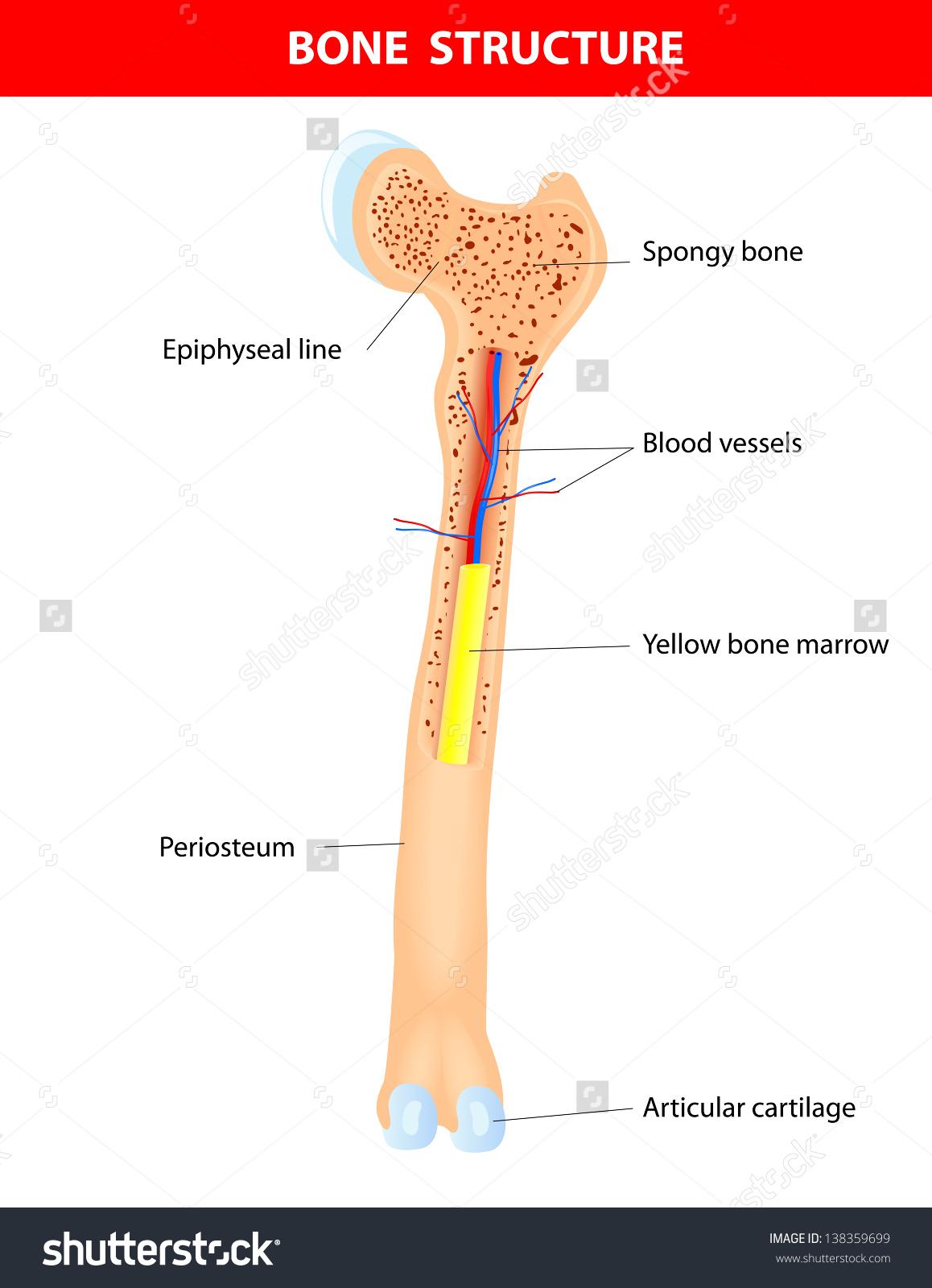 Long Bone Anatomy Scheme Stock Illustration 138359699.