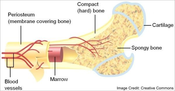 Types of bones, bone structure, & joints.