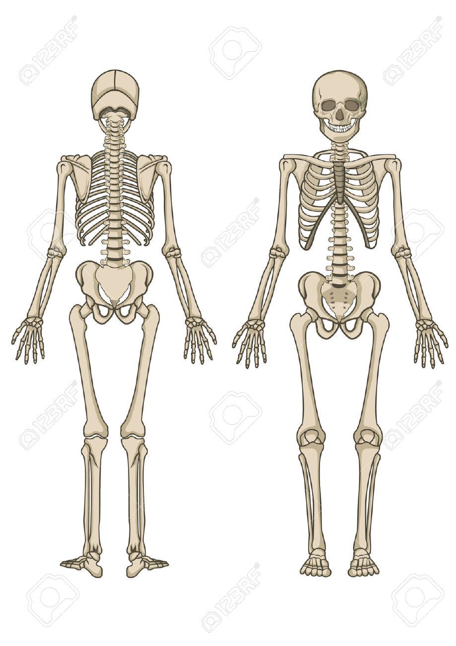 Bone structure clipart #5