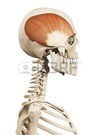 3,120 Bone Structure Stock Vector Illustration And Royalty Free.