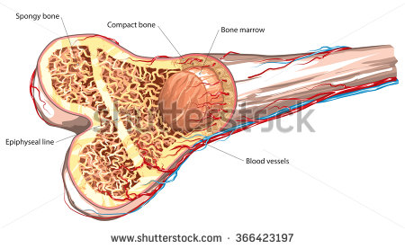 Skeletal System Stock Images, Royalty.
