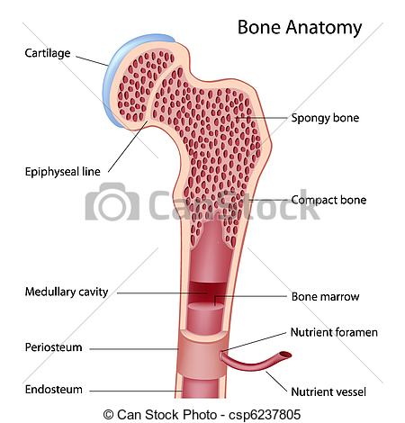 Clipart Vector of Bone structure.