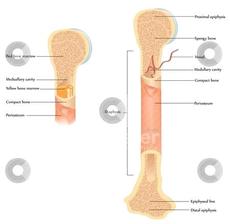 Human bone anatomy stock vector.