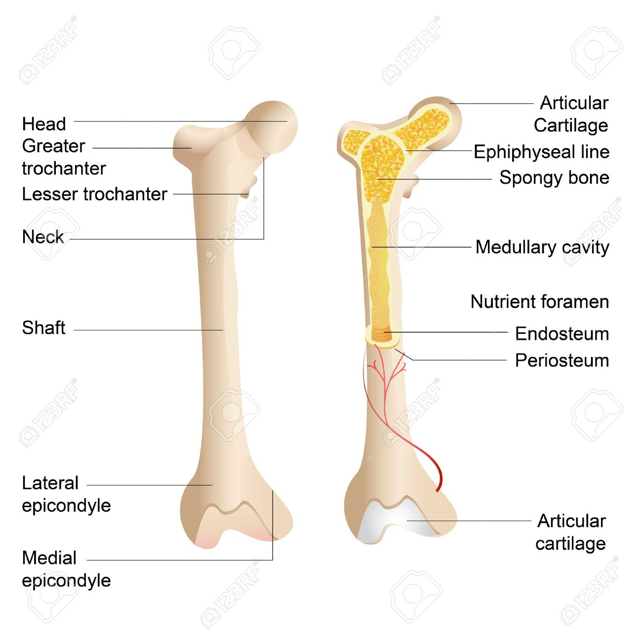Vector Illustration Of Diagram Of Human Bone Anatomy Royalty Free.