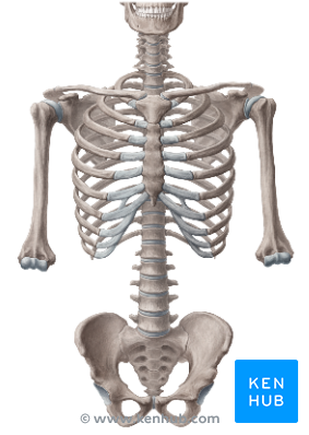 PNG Skeleton Bones Transparent Skeleton Bones.PNG Images..