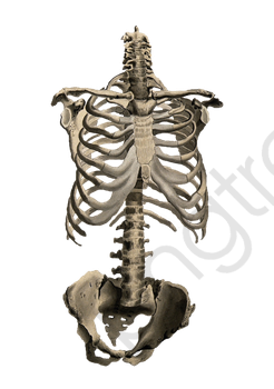 Body Bones, Skeleton, Rib Cage, Perspective PNG Transparent Image.