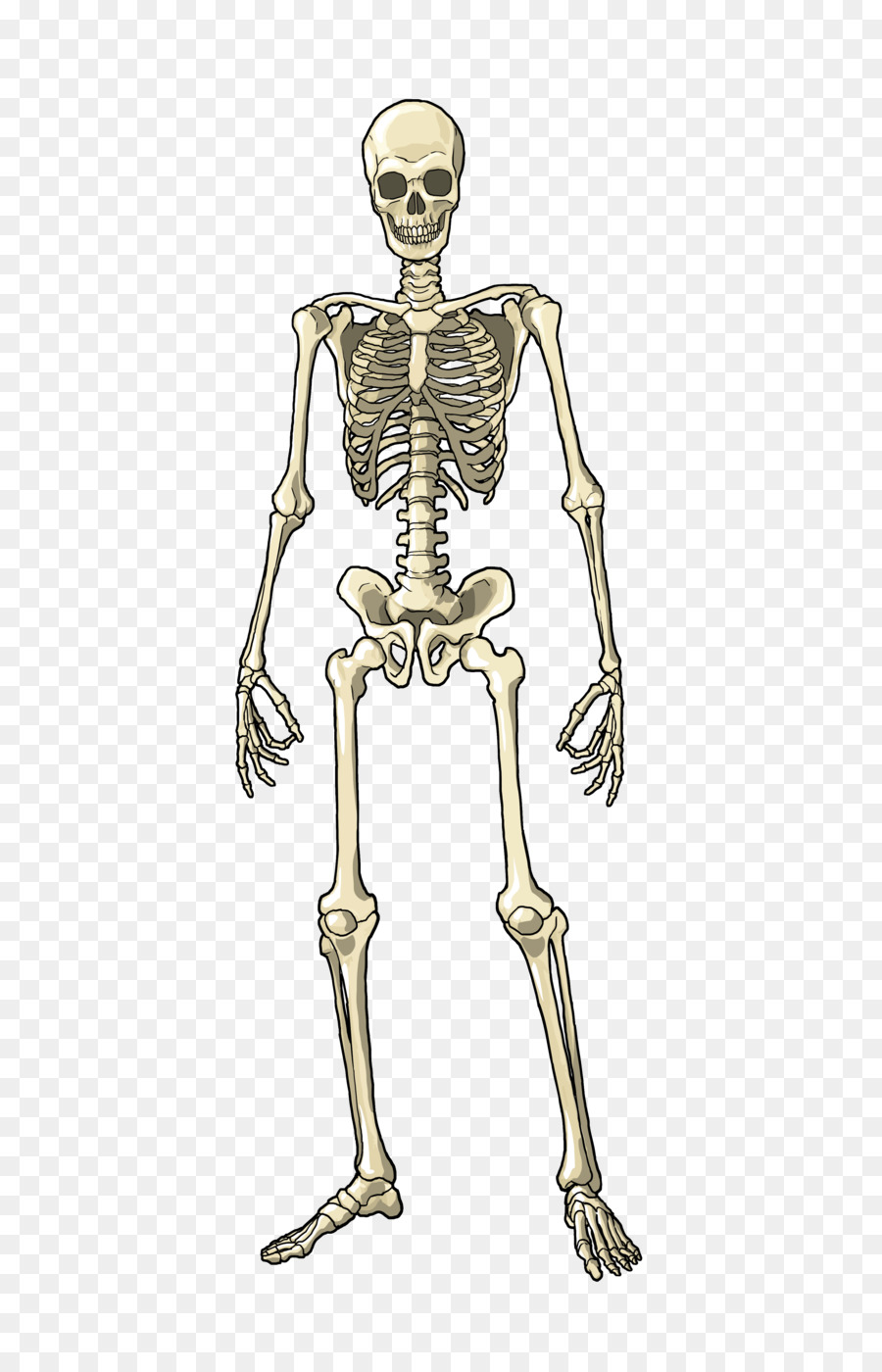 Human Body Muscle Bone Skeleton Homo Sap #250332.