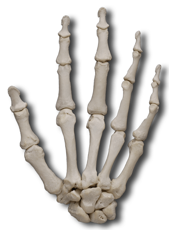 Carpal Bones transparent PNG.