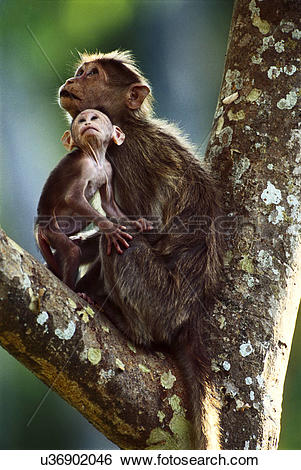 Stock Images of Bonnet macaques, Macaca radiata, mother animal and.