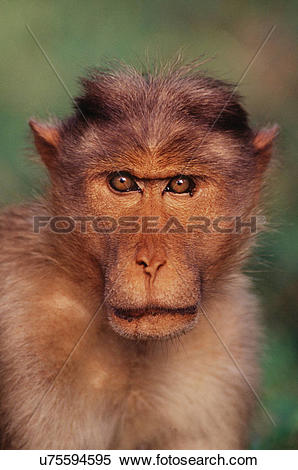 Stock Image of Bonnet macaque, Macaca radiata, Bandipur National.