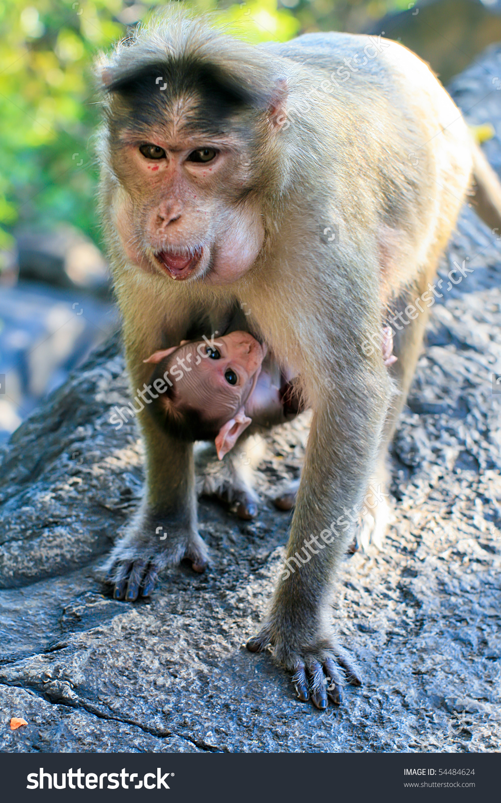 Bonnet Macaque Mother Baby Dudhsagar Waterfall Stock Photo.