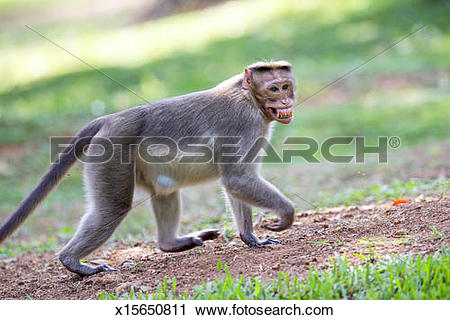 Stock Photography of BONNET MACAQUE x15650811.