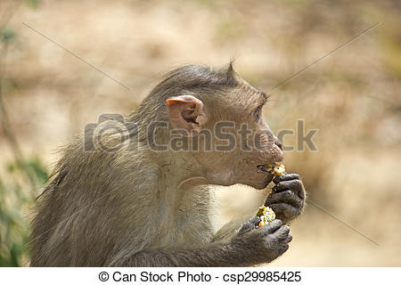 Stock Photo of Bonnet macaque.
