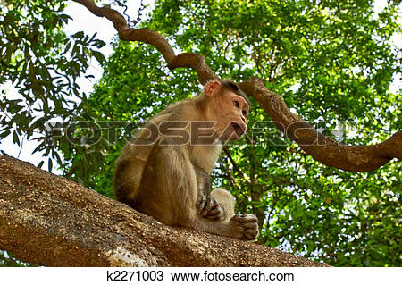 Stock Photo of Young bonnet macaque sitting on a tree k2271003.