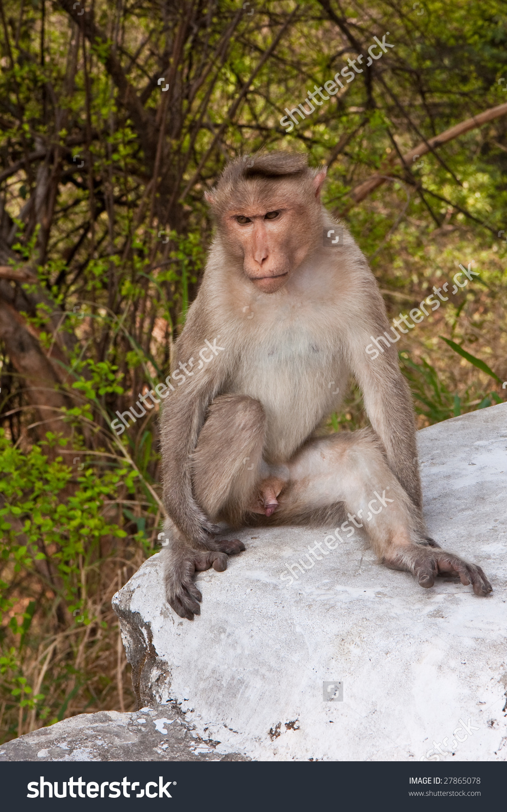 Male Bonnet Macaque Sitting By The Road In Mudumalai National Park.