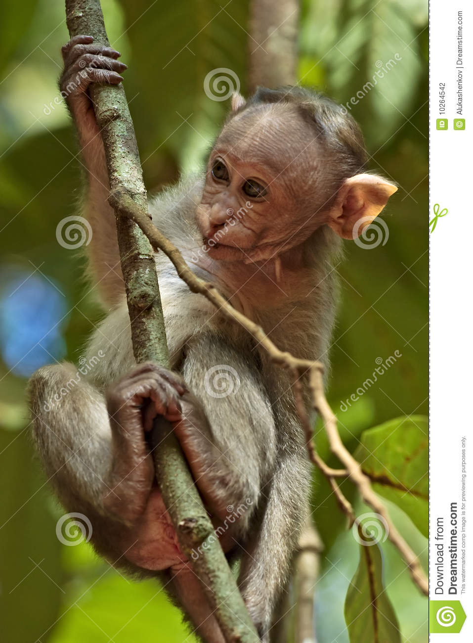 Bonnet Macaque Baby Stock Photography.