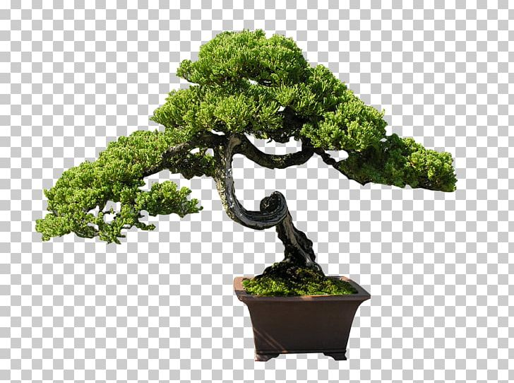 Indoor Bonsai Tree PNG, Clipart, Bonsai, Bonsai Tree, Chinese Elm.