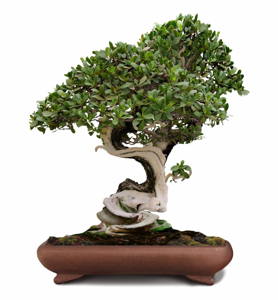 Bonsai Bonsai Tree Green Tree Png Image.
