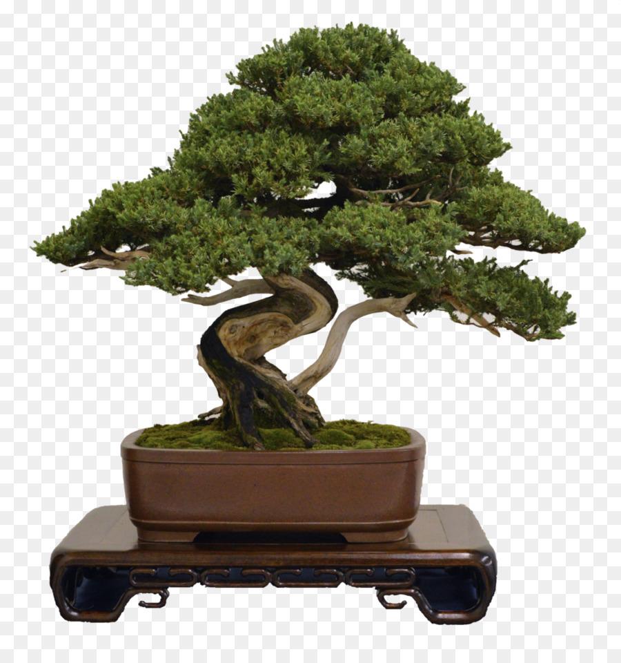 Bonsai Tree png download.