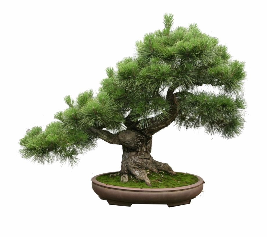 The Art Of Creating A Bonsai Tree.