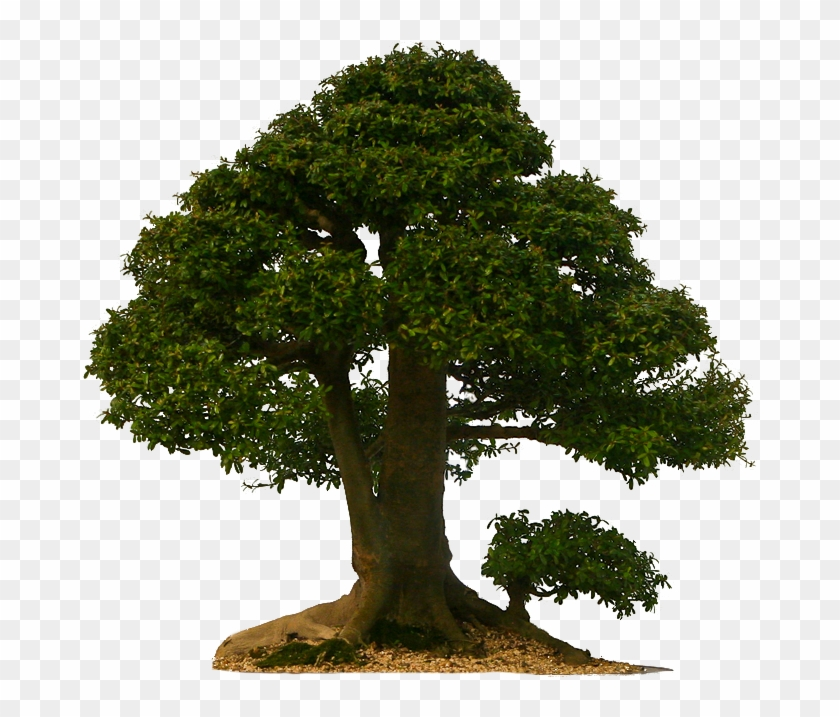 Tall Tree Png.
