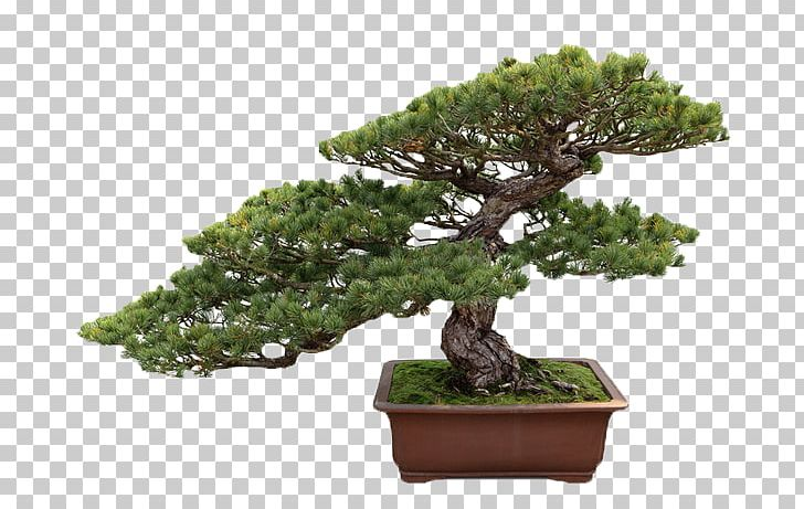 Indoor Bonsai Ficus Retusa Tree Ficus Microcarpa PNG, Clipart, Ficus.