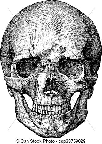 Vector Illustration of Bony skeleton of the face and the anterior.